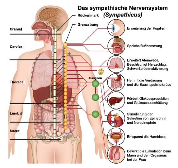 Darstellung Sympathicus / Vagusnerv